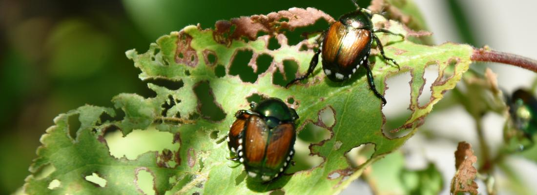illustration IPM-Popillia, a European project to control the Japanese beetle