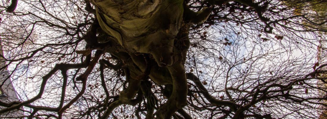 illustration Sécheresse et embolie gazeuse chez les arbres