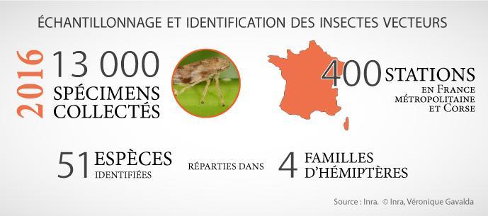 X. fastidiosa - Echantillonnage et identification des insectes vecteurs. Inrae