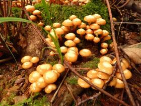 Agaric à soupe. Photo pour l'encadré du dossier Voyage au royaume des champignons. Inra de Nancy.