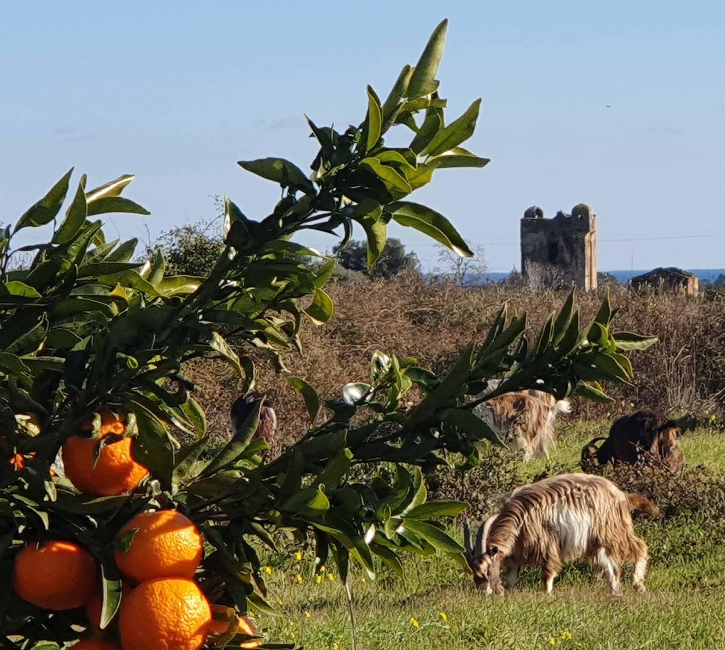 Troupeaux de chèvres corses : gestion de l'enherbement en périphérie de vergers