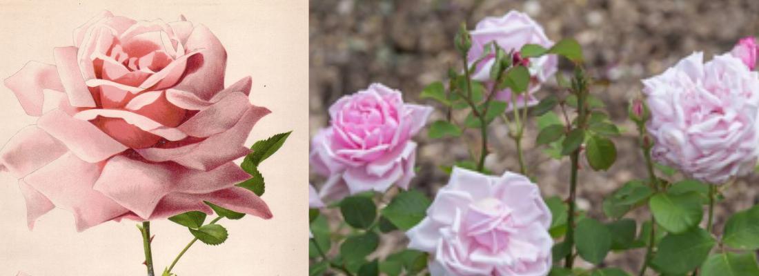 illustration Origine et sélection de la remontée de floraison chez le rosier