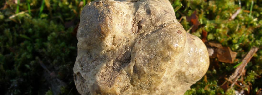 illustration Le génome des truffes révèle le secret de la fabrication de leurs parfums