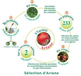 Schéma de sélection de la pomme Ariane®