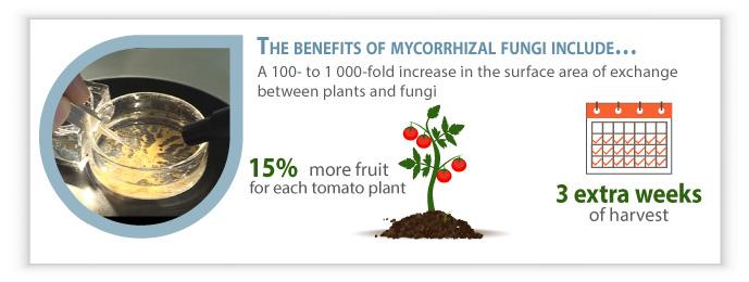 Infography Mycophyto: benefits of the mycorrhizal fungi