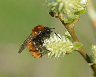 Abeille sauvage Femelle d'Andrena fulva collectant du pollen sur fleur de saule
