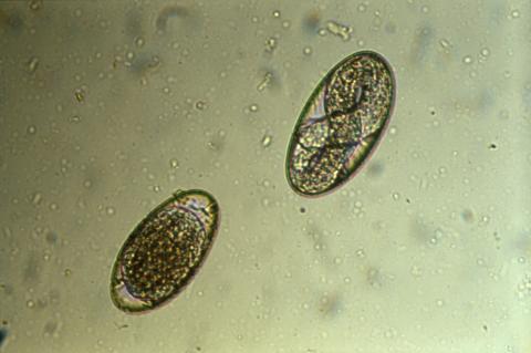 Oeufs de parasites dans les fécès. ils sont visibles avec une simple loupe binoculaire et sont comptabilisés. Les strongles sont des vers parasites qui infectent les ruminants