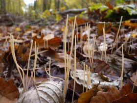 macrotyphula filiformis. Photo pour illustrer article du dossier Voyage au royaume des champignons.