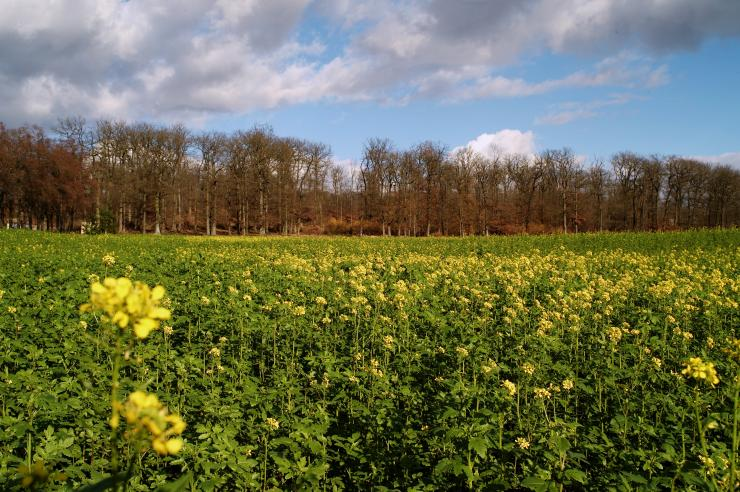 Mustard field in Île-de-France.
