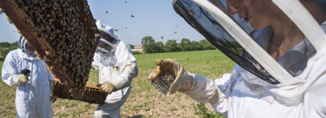 illustration L'agriculture biologique améliore les performances des colonies d'abeilles mellifères