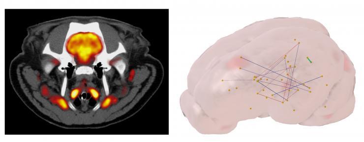 A gauche : imagerie multimodale d'une coupe de cerveau du porc représentant en nuances de gris le scanner X et en fausses couleurs la captation du glucose par le cerveau au moyen de la tomographie positronique – une méthode d'imagerie nucléaire quantitative. A droite : représentation en 3 dimensions des différences de connectivité métabolique des neurones au niveau du cerveau chez les porcs témoins et ceux ayant reçu le mélange Acesulfame K Sucralose (figure réalisée à partir d'un atlas développé au sein de