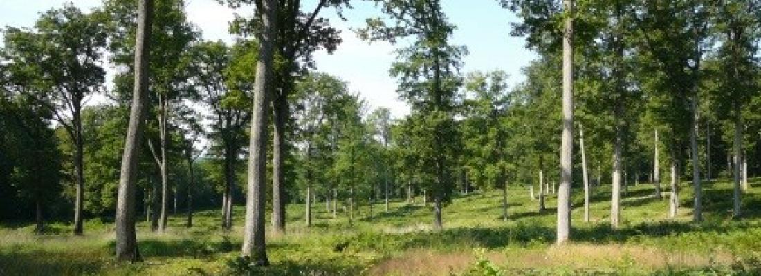 illustration  Le génome du chêne lève un voile sur la longévité des arbres