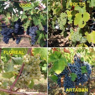 Quatre variétés résistantes