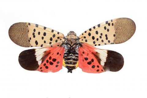 Fulgore tacheté (Lycorma delicatula)