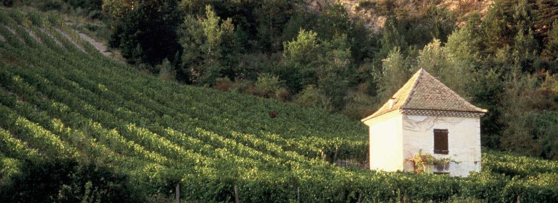 illustration L'Inra obtient l'inscription au catalogue de quatre variétés sélectionnées pour la viticulture durable