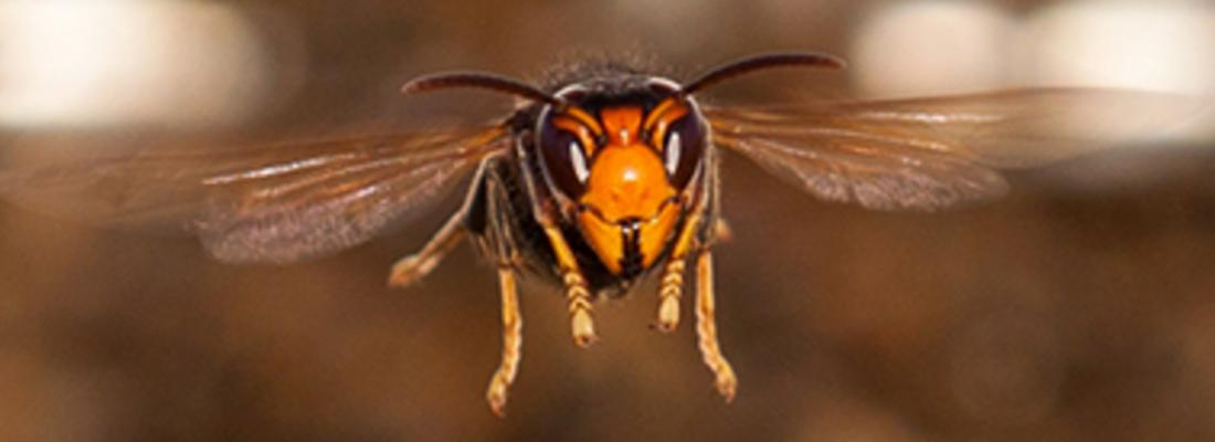illustration Traquer le retour au nid des frelons asiatiques : une piste prometteuse pour la lutte contre ces dangereux prédateurs d'abeilles