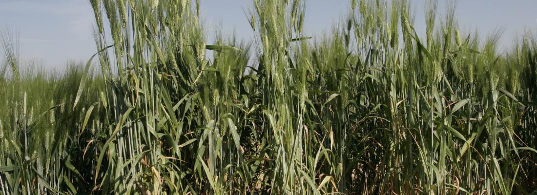 illustration Des plantes coopératives pour un meilleur rendement des cultures