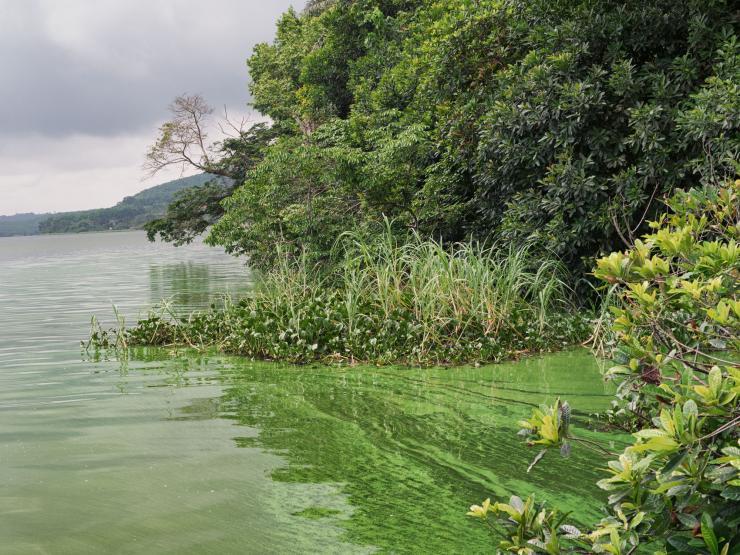 Prolifération de cyanobactéries sur la lagune Aghien (Côte d'Ivoire)