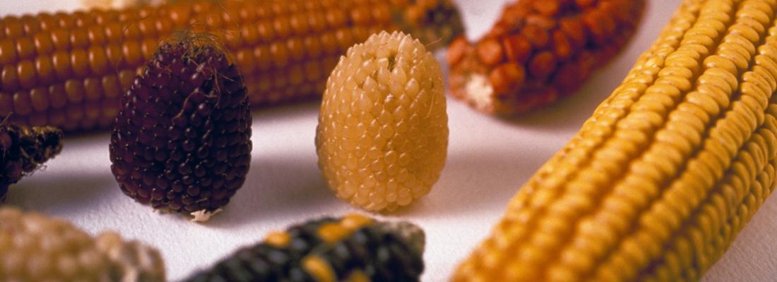 illustration Le maïs cultive sa diversité avec la sélection participative !