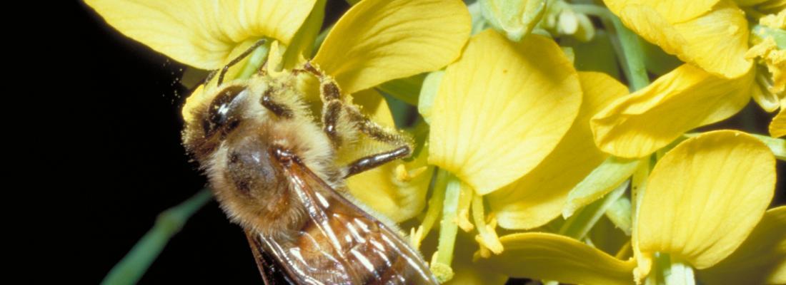 illustration La pollinisation par les abeilles accroît la rentabilité des cultures de colza