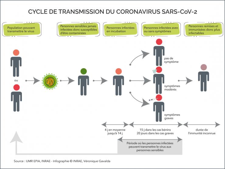 Afficher le cycle de transmission du Coronavirus