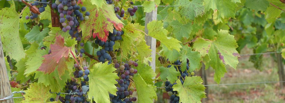 illustration De la vigne au verre de vin : aider chaque acteur à s'adapter aux effets du changement climatique
