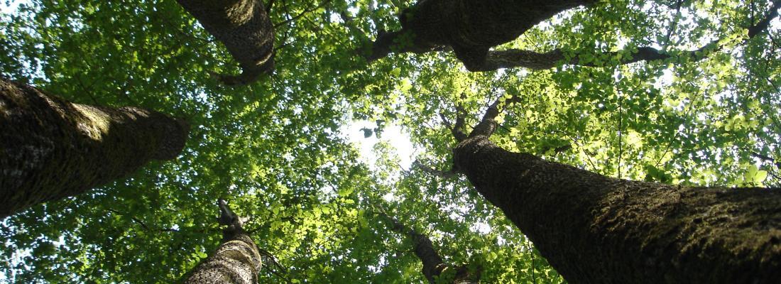 illustration Ressources génétiques : la clé de l'adaptation des forêts aux changements globaux