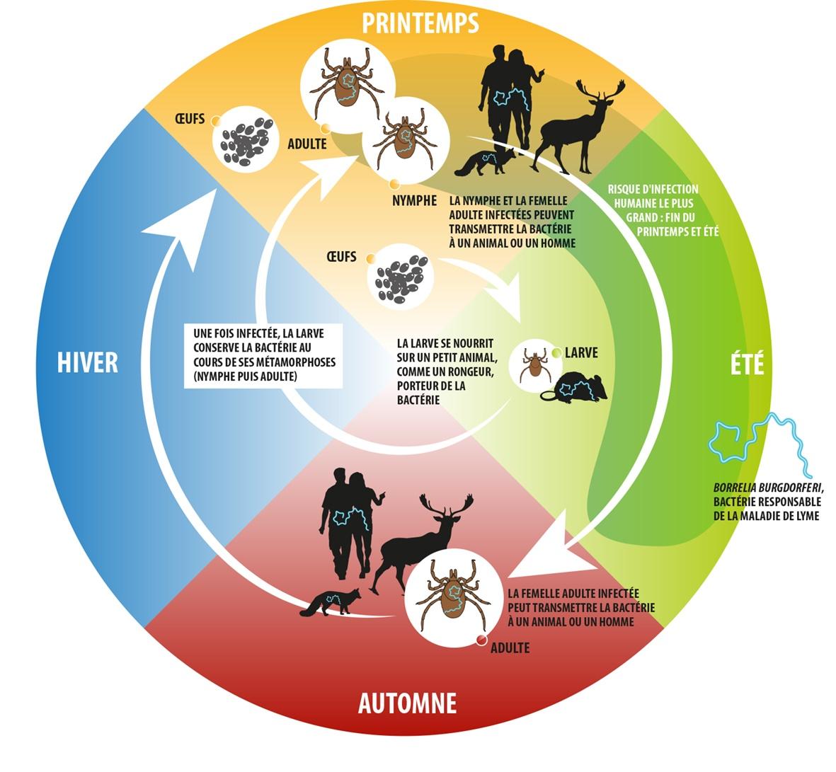 Cycle annuel d'Ixodes ricinus