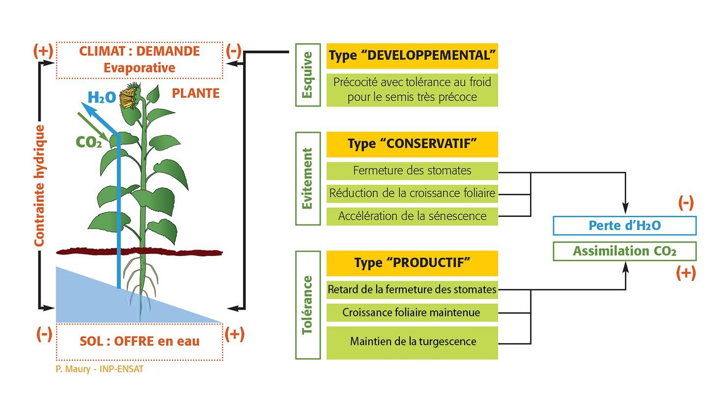 Schéma tolérance des plantes à la sécheresse