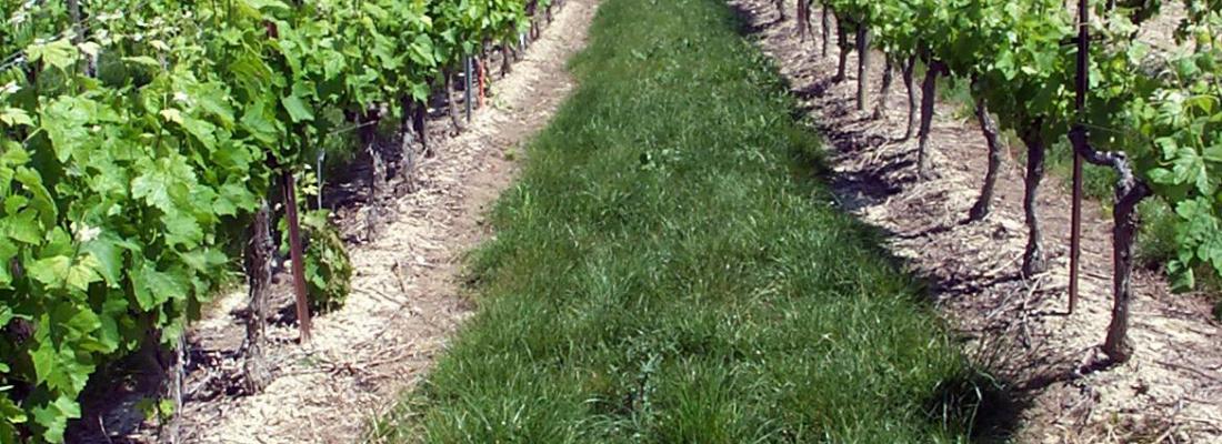 illustration Alternatives au glyphosate en viticulture, une évaluation économique