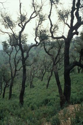 Le chêne liège récupère peu à peu son feuillage après incendie alors qu'un dense tapis de cistes envahi le sous-bois.