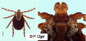 Dermacentor marginatus femelle. P. Oger