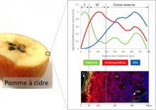 Distribution des composés phénoliques dans l'épiderme de pomme. Superposition des profils des flavanols (vert), anthocyanidines (rouge) et acides hydroxycinnamiques (AHs, bleu). L'image en RGB a été reconstruite à partir des résultats d'analyse d'image d'autofluorescence des composés phénoliques après excitation à 275 nm. C: Cuticule ; SC: Sub-cuticule ; Cu: Cutine ; Ce: Cellule ; CW: Parois cellulaire. © Kevin Vidot