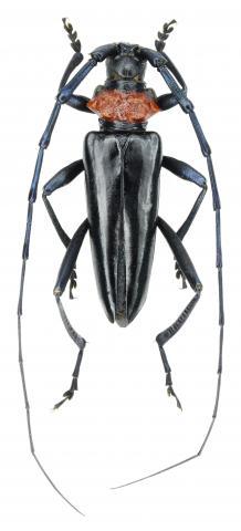 Longicorne à col rouge (Aromia bungii)