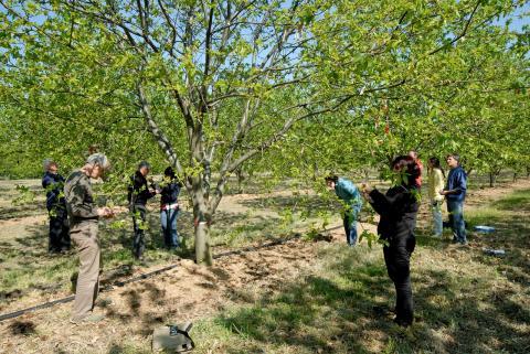Lâchers de Torymus sinensis dans la Drôme par INRAE