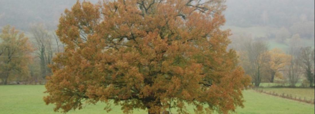 illustration Le génome du chêne séquencé