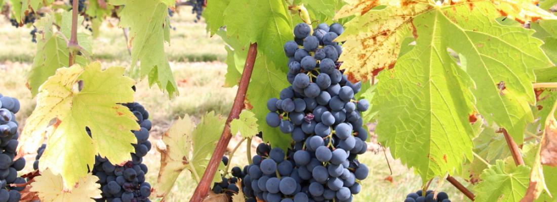 illustration Des cépages innovants pour ressourcer les vignobles