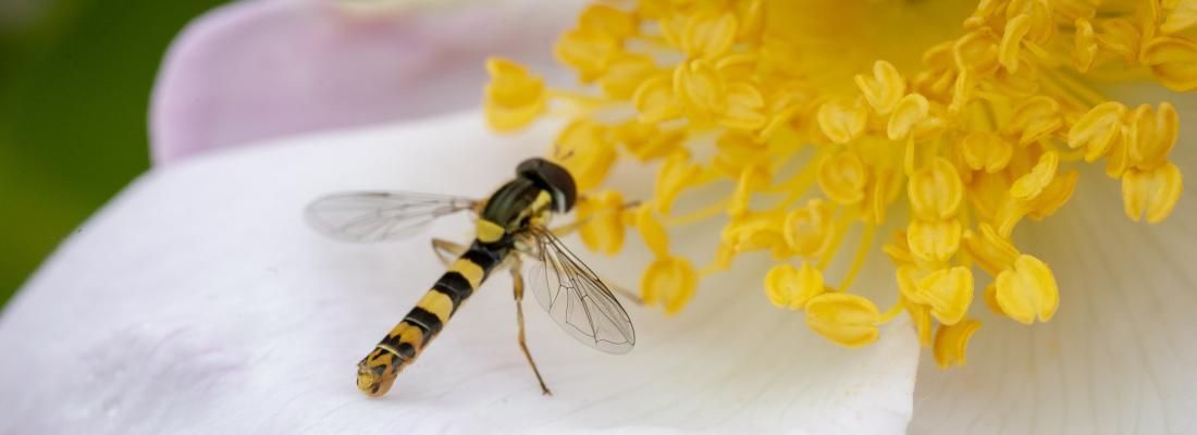 illustration Projet « Grand Nancy, terre de pollinisateurs » : les espaces verts urbains, nouveau refuge des pollinisateurs