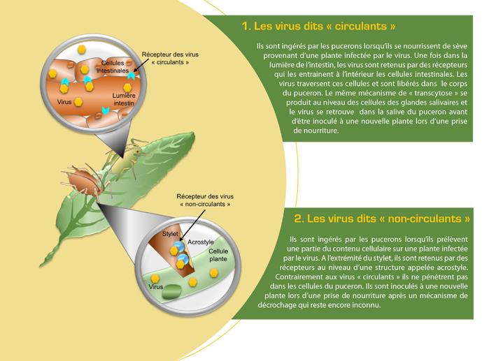 Mécanismes d'action des virus de plantes