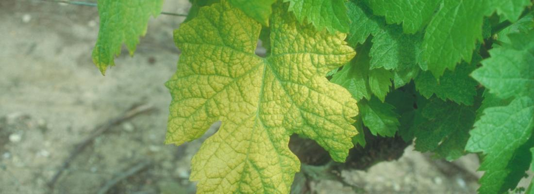 illustration Découverte d'une résistance naturelle au virus du court-noué chez la vigne : un espoir pour la viticulture