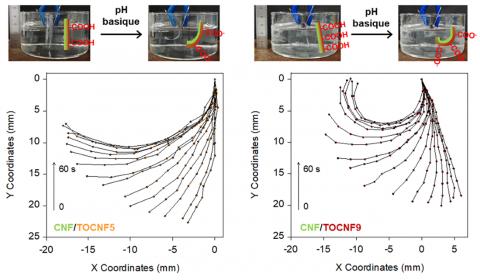 Photographies montrant la courbure des nanopapiers NFC/NFC-TEMPO à deux degrés d'oxydation différents (DO 0.05 et 0.09) lorsqu'ils sont immergés à pH basique; et graphiques X-Y montrant l'évolution de la courbure pour les différents temps de 0 à 30 s