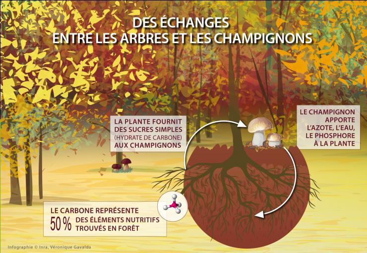 Cycle du carbone entre le champignon et la plante. Champignons symbiotiques.  Pour le dossier voyage au royaume des champignons