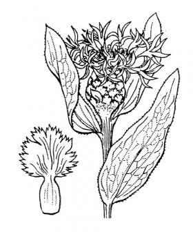 Centaurea jacea-Flore Abbé Coste