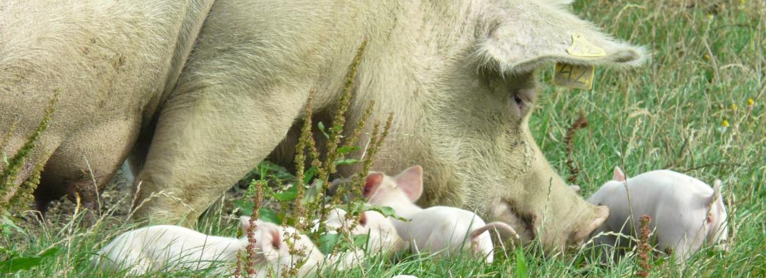 illustration Le projet européen 'PPILOW : bien-être des volailles et des porcs en systèmes biologiques et plein air' coordonné par INRAE a pris son envol !