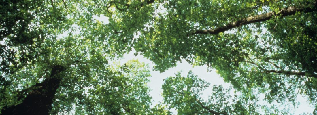 illustration La génomique du chêne fait ses preuves