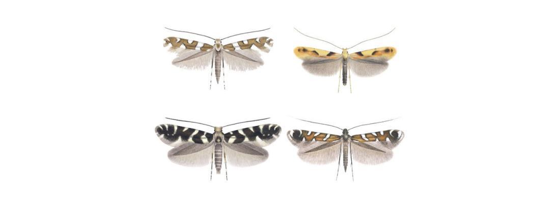 illustration Les codes-barres ADN révèlent 21 potentielles nouvelles espèces de microlépidoptères européens