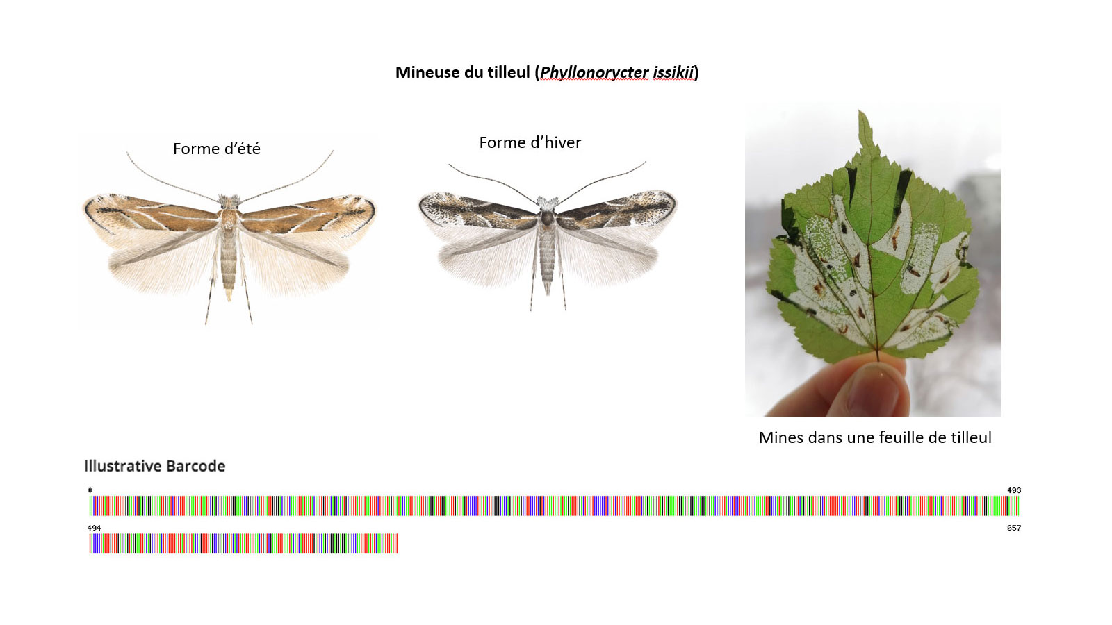 Mineuse du tilleul (Phyllonorycter issikii) : forme d'été, forme d'hiver, mines dans une feuille de tilleul, code barres ADN