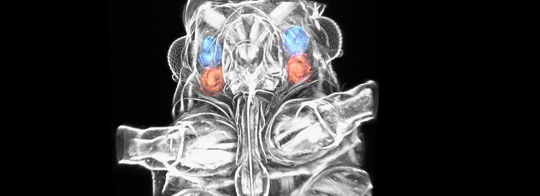 illustration La composition protéique des pièces buccales du puceron mise à jour