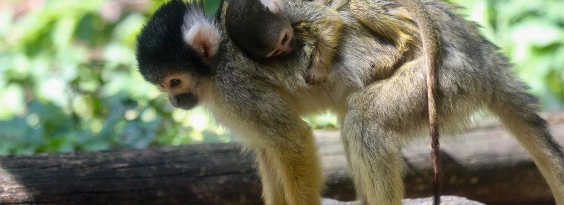 illustration Un vaccin contre la toxoplasmose pour les singes Saïmiris