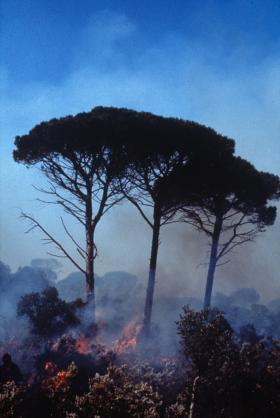 Utilisation du brûlage dirigé pour réduire la quantité de combustible dans un peuplement de pin pignon (Var).